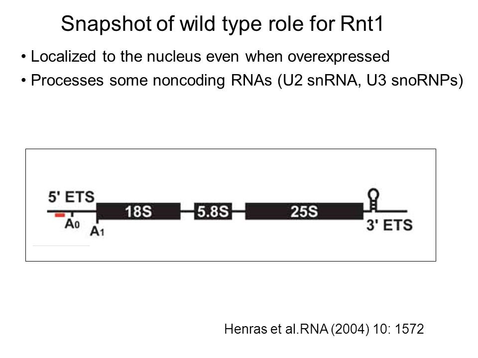 Snapshot of wild type role for Rnt1 Processes some noncoding RNAs (U2 snRNA, U3 snoRNPs) Localized to the nucleus even when overexpressed Processes some coding RNA, e.g.
