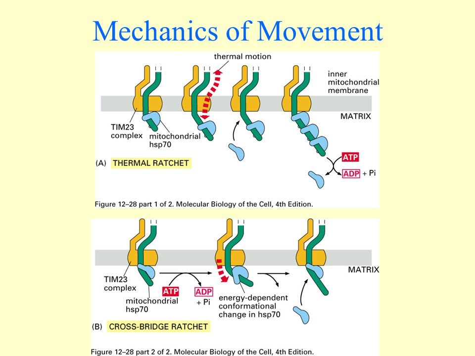 Contimued Movement of proteins through the pore depends on the maintenance of the potential difference across the membrane.