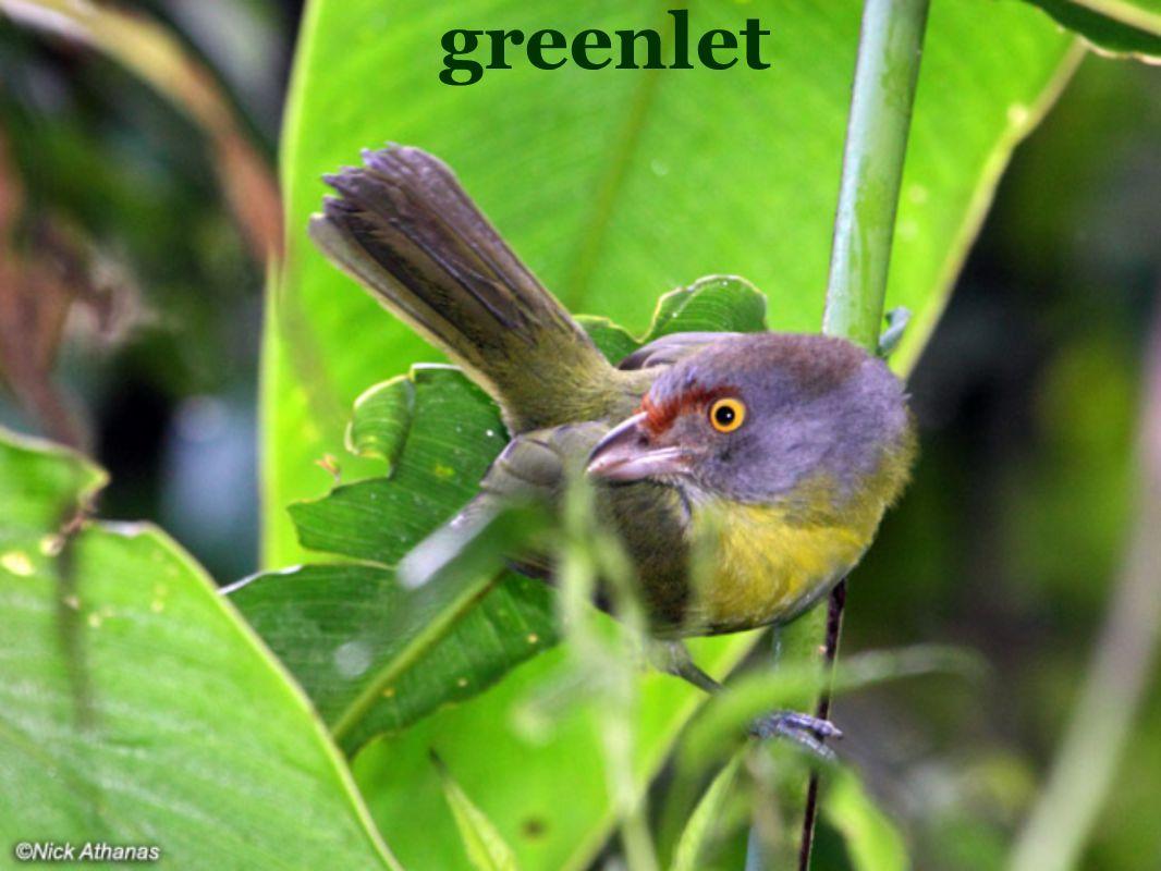 greenlet