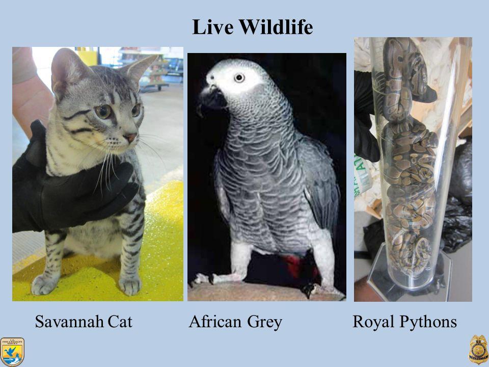 Live Wildlife Savannah Cat African Grey Royal Pythons