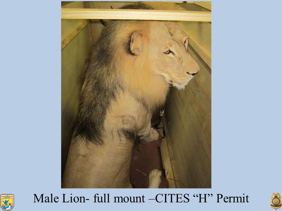 Male Lion- full mount –CITES H Permit