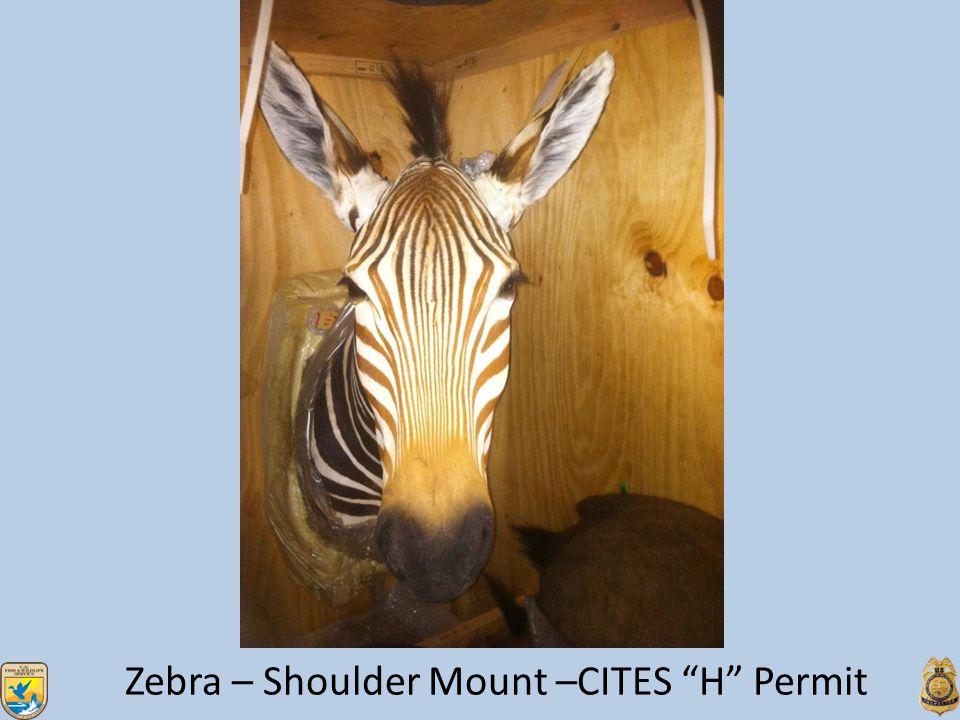Zebra – Shoulder Mount –CITES H Permit