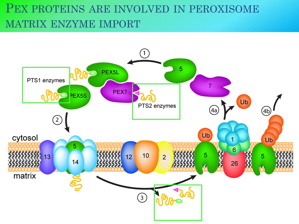 P EX PROTEINS ARE INVOLVED IN PEROXISOME MATRIX ENZYME IMPORT