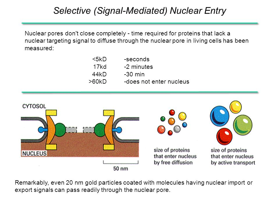 Selective (Signal-Mediated) Nuclear Entry Nuclear pores don't close completely - time required for proteins that lack a nuclear targeting signal to di