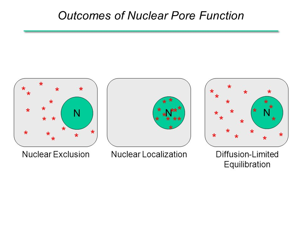 Outcomes of Nuclear Pore Function N N N * * * * * * * * * * * * * * * * * * * * * * * * * * * * * * * * * * * * * ** * * * * * * * * * Nuclear ExclusionNuclear LocalizationDiffusion-Limited Equilibration