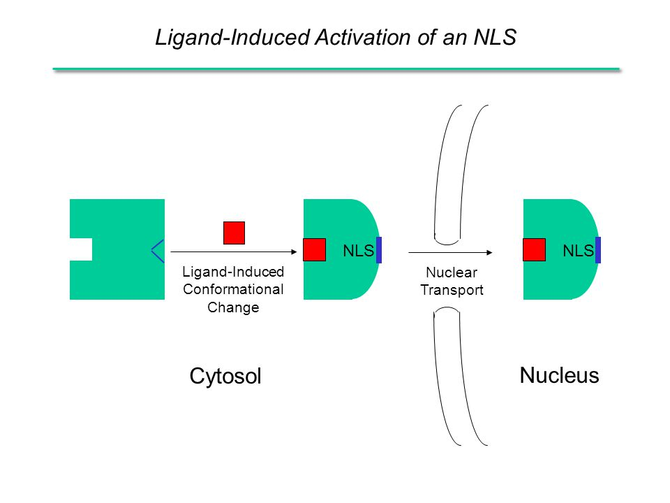Ligand-Induced Activation of an NLS Ligand-Induced Conformational Change NLS Nucleus Cytosol Nuclear Transport
