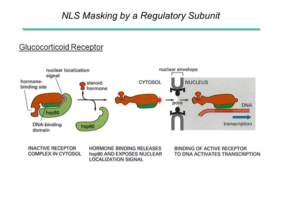 NLS Masking by a Regulatory Subunit Glucocorticoid Receptor