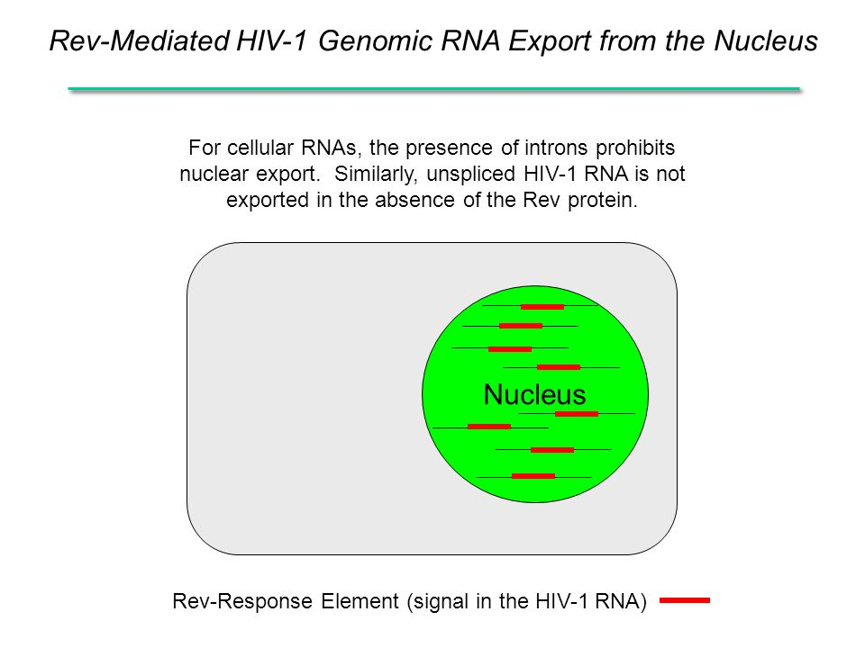 Rev-Mediated HIV-1 Genomic RNA Export from the Nucleus For cellular RNAs, the presence of introns prohibits nuclear export.