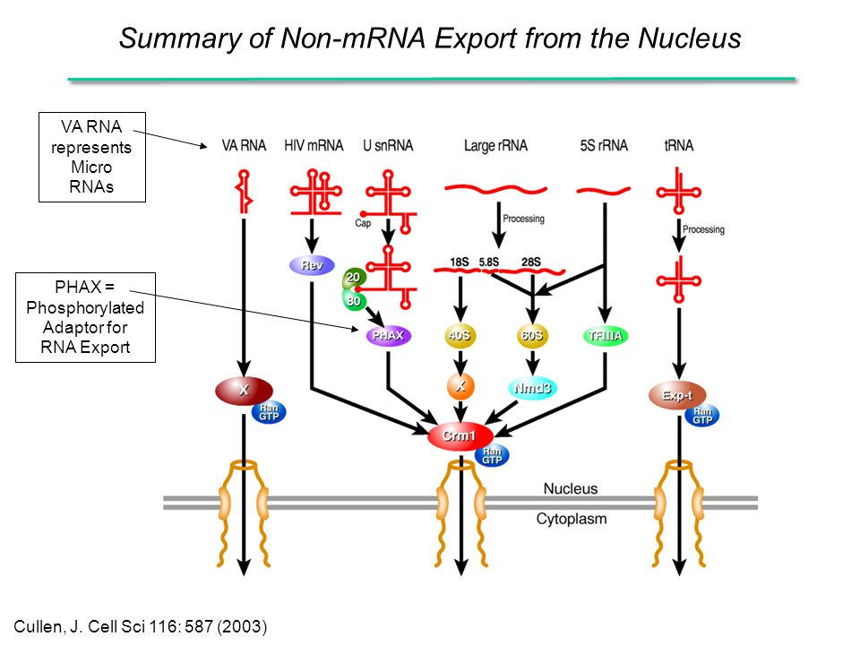 Summary of Non-mRNA Export from the Nucleus Cullen, J. Cell Sci 116: 587 (2003) VA RNA represents Micro RNAs PHAX = Phosphorylated Adaptor for RNA Exp