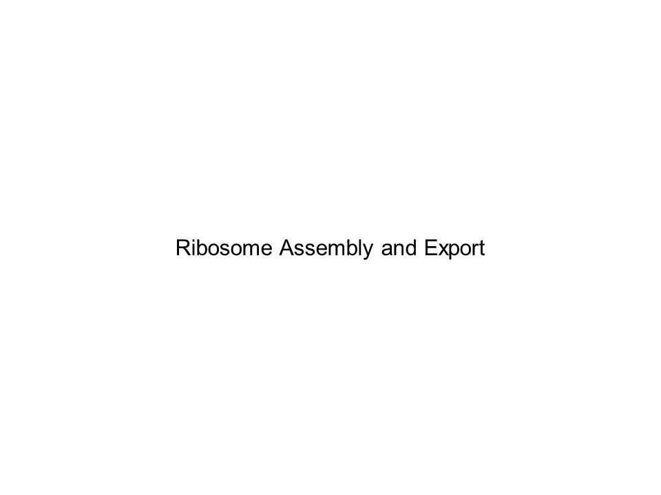 Ribosome Assembly and Export