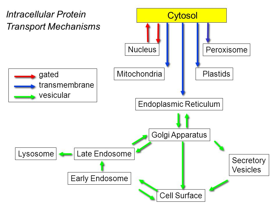 gated transmembrane vesicular Cytosol Endoplasmic Reticulum Golgi Apparatus Cell Surface Secretory Vesicles Lysosome Early Endosome Nucleus Peroxisome Mitochondria Plastids Late Endosome Intracellular Protein Transport Mechanisms