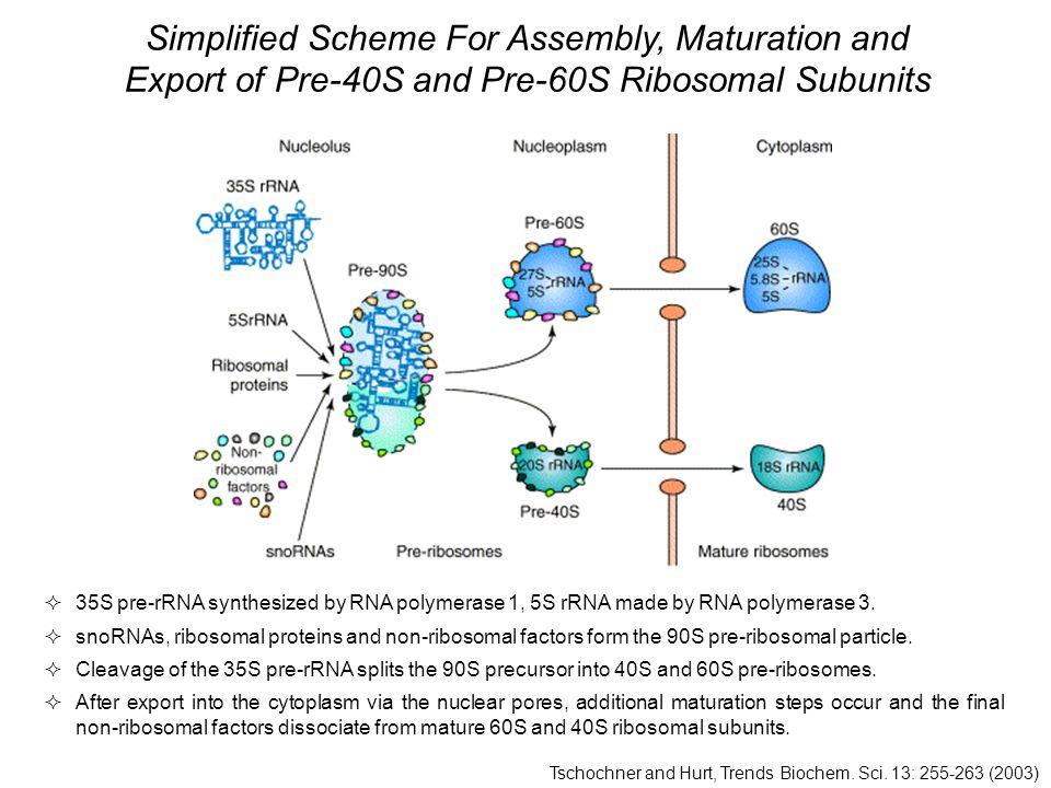  35S pre-rRNA synthesized by RNA polymerase 1, 5S rRNA made by RNA polymerase 3.