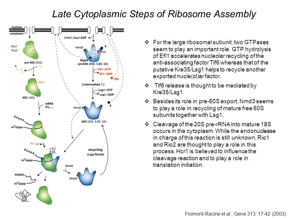 Fromont-Racine et al., Gene 313: 17-42 (2003)  For the large ribosomal subunit, two GTPases seem to play an important role.