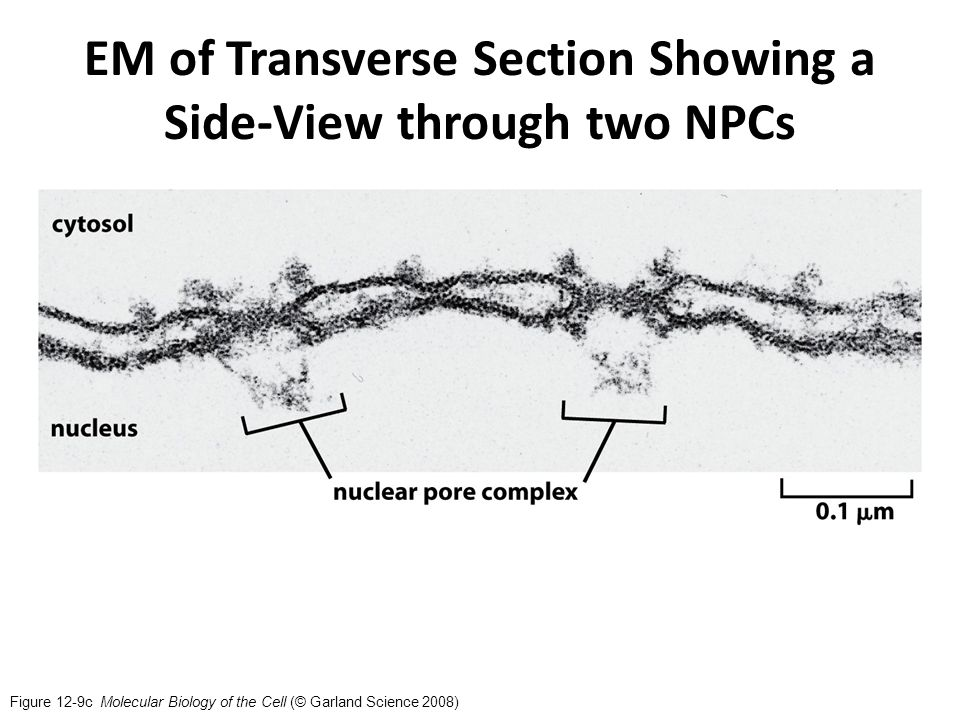Figure 12-9c Molecular Biology of the Cell (© Garland Science 2008) EM of Transverse Section Showing a Side-View through two NPCs