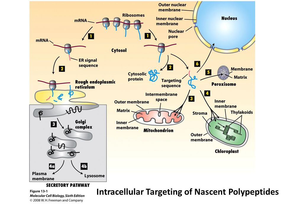 Figure 12-26 Molecular Biology of the Cell (© Garland Science 2008) Protein Import into the Matrix Requires ATP Hydrolysis and an Intact Proton Gradient Across the Inner Membrane