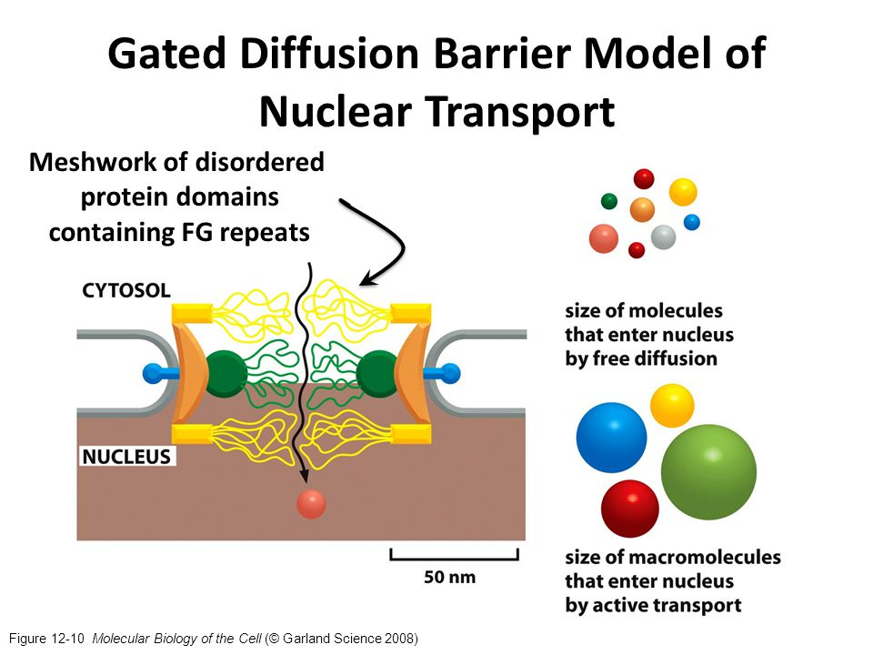 Figure 12-10 Molecular Biology of the Cell (© Garland Science 2008) Gated Diffusion Barrier Model of Nuclear Transport Meshwork of disordered protein domains containing FG repeats