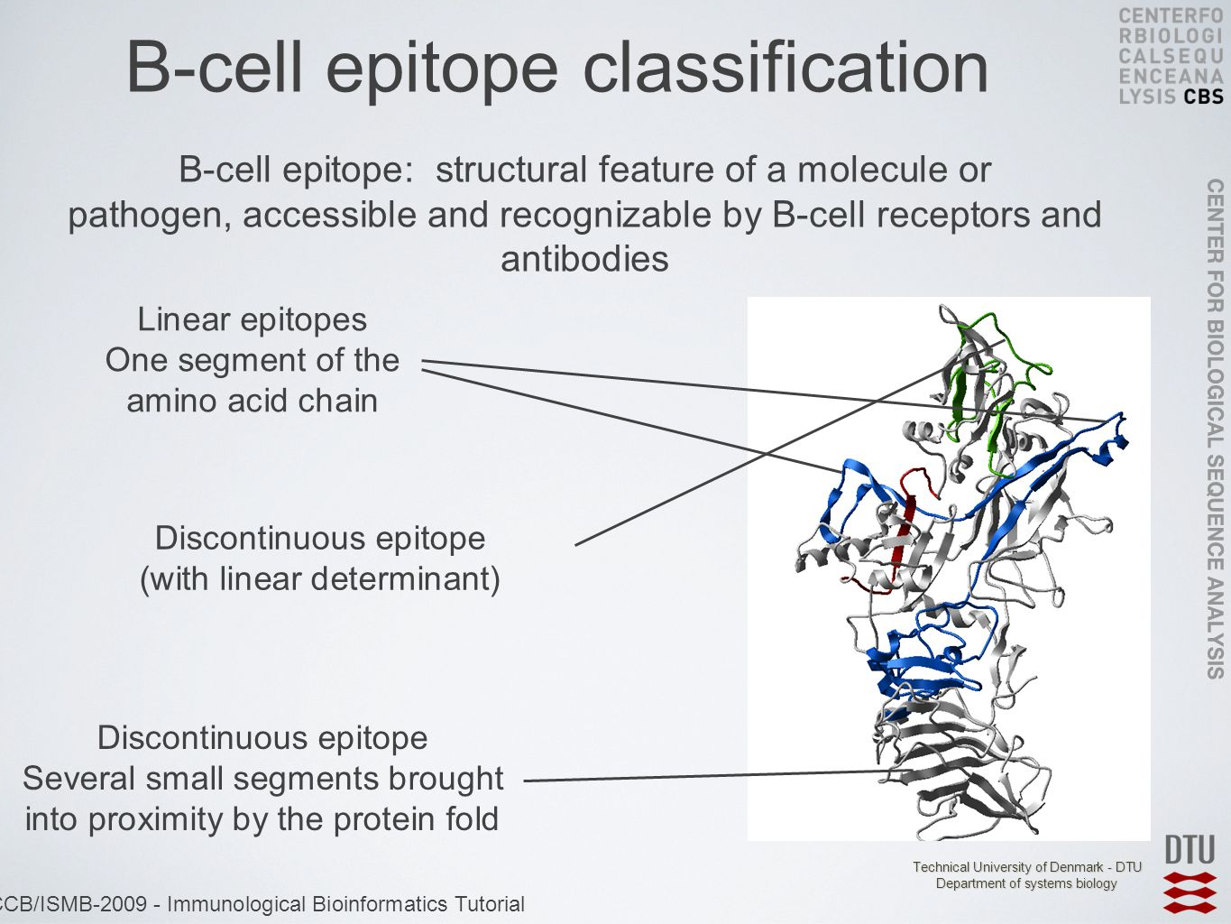 Technical University of Denmark - DTU Department of systems biology ECCB/ISMB-2009 - Immunological Bioinformatics Tutorial B-cell epitope classification Linear epitopes One segment of the amino acid chain Discontinuous epitope (with linear determinant) Discontinuous epitope Several small segments brought into proximity by the protein fold B-cell epitope: structural feature of a molecule or pathogen, accessible and recognizable by B-cell receptors and antibodies