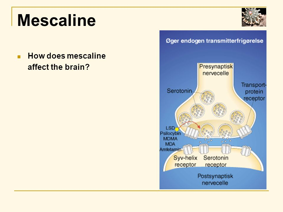 Mescaline How does mescaline affect the brain?