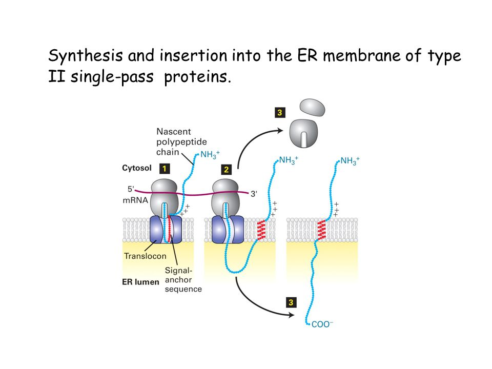 Synthesis and insertion into the ER membrane of type II single-pass proteins.