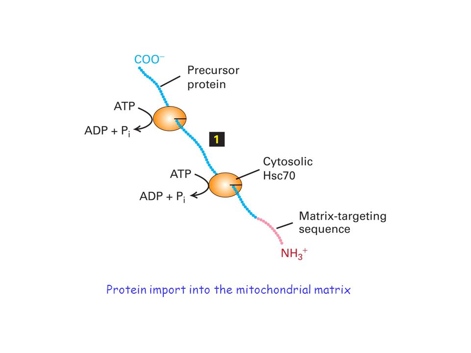 Protein import into the mitochondrial matrix