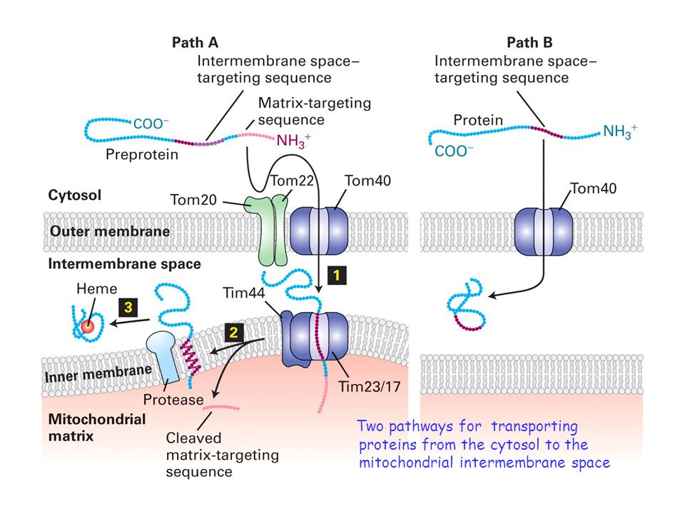 Two pathways for transporting proteins from the cytosol to the mitochondrial intermembrane space