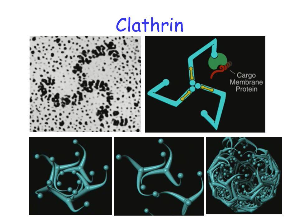 Clathrin