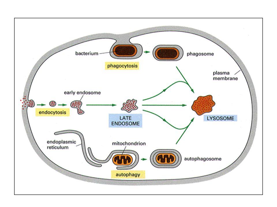 1. 溶酶体的类型