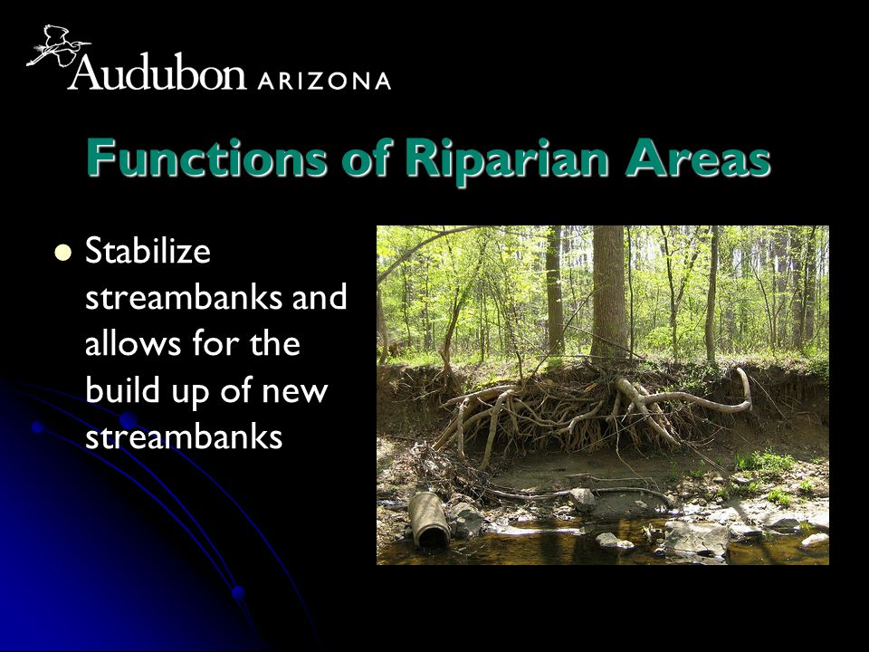 Functions of Riparian Areas Stabilize streambanks and allows for the build up of new streambanks
