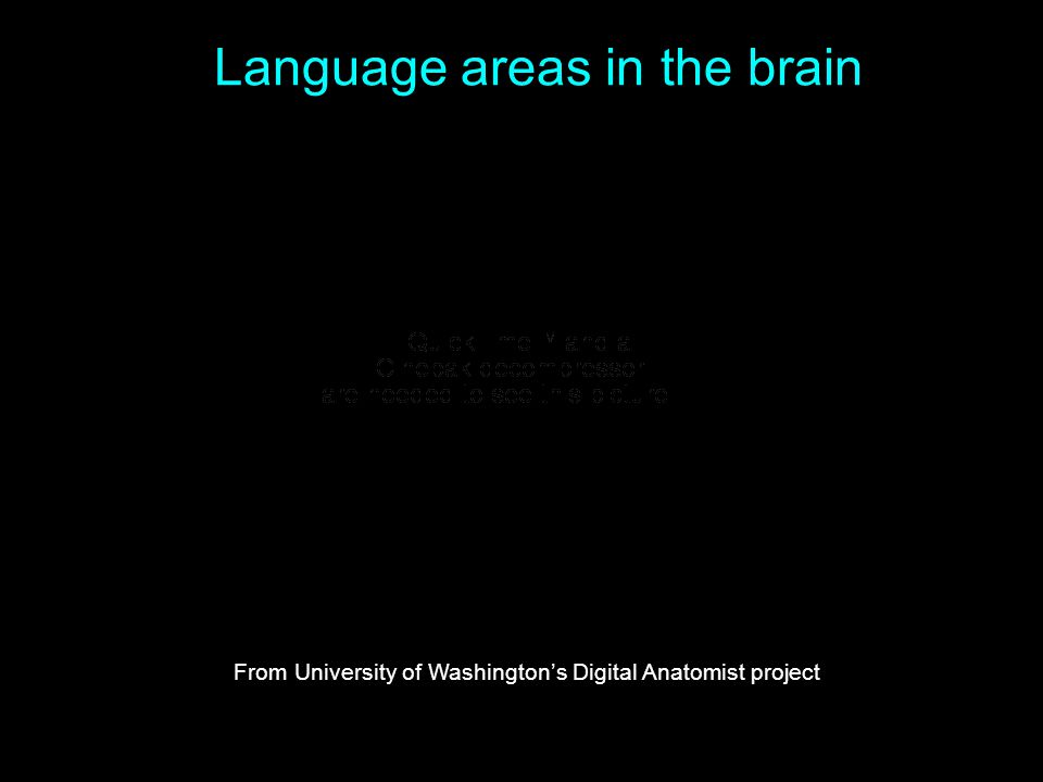 Language areas in the brain From University of Washington's Digital Anatomist project
