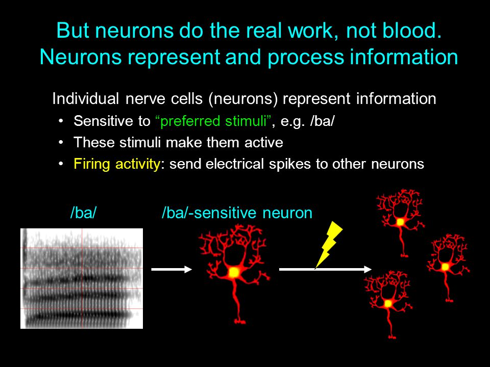 But neurons do the real work, not blood. Neurons represent and process information Individual nerve cells (neurons) represent information Sensitive to