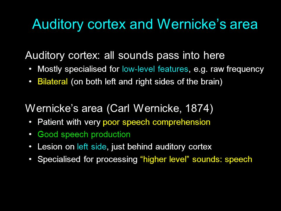 Auditory cortex and Wernicke's area Auditory cortex: all sounds pass into here Mostly specialised for low-level features, e.g. raw frequency Bilateral