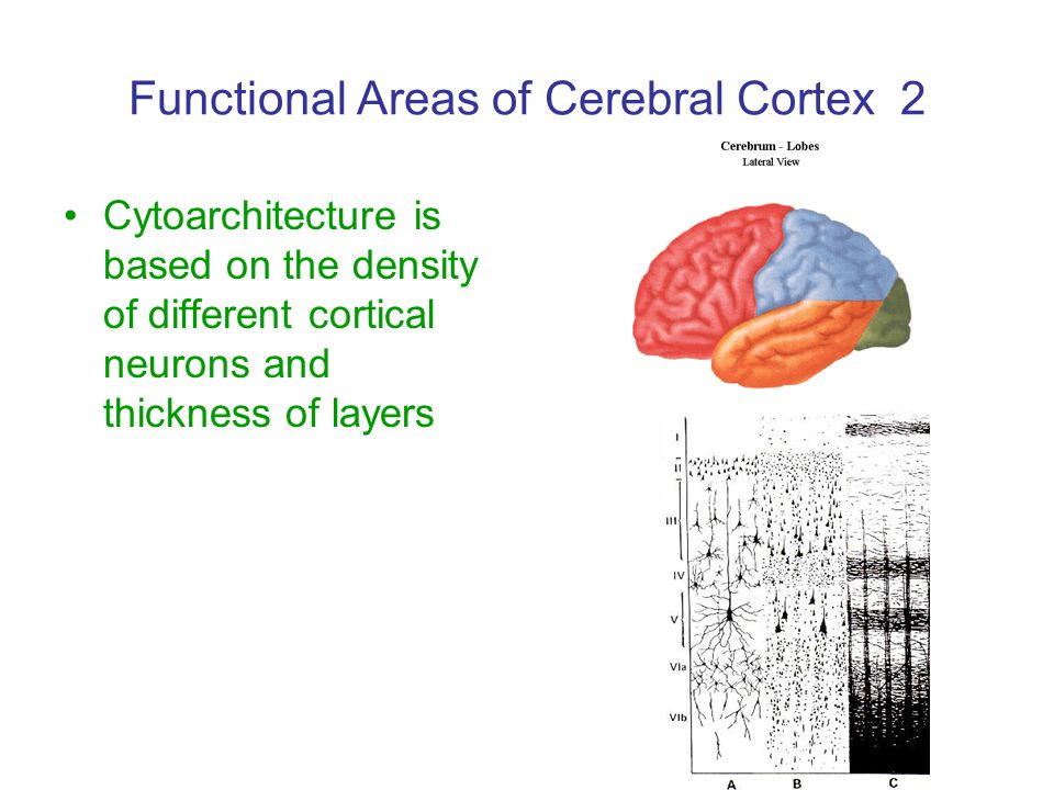 Functional Areas of Cerebral Cortex 2 Cytoarchitecture is based on the density of different cortical neurons and thickness of layers