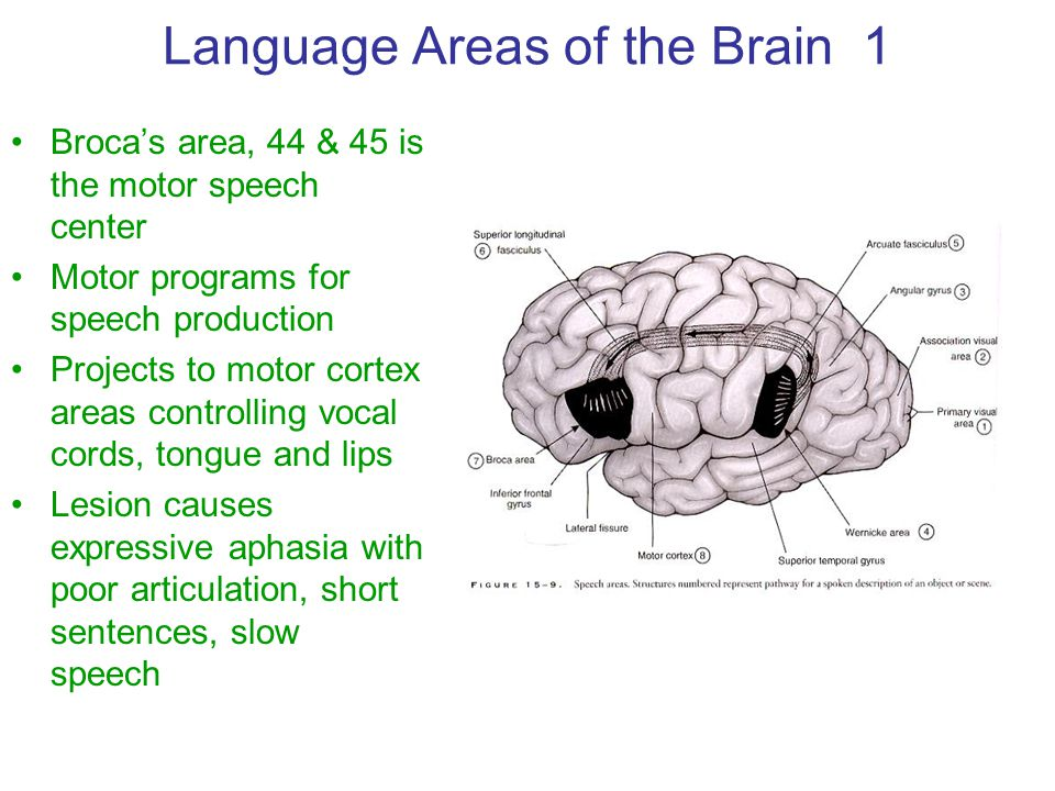 Language Areas of the Brain 1 Broca's area, 44 & 45 is the motor speech center Motor programs for speech production Projects to motor cortex areas con