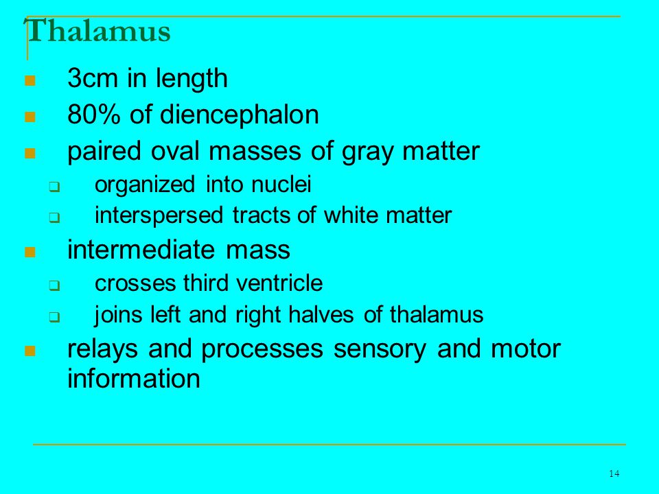 14 Thalamus 3cm in length 80% of diencephalon paired oval masses of gray matter  organized into nuclei  interspersed tracts of white matter intermediate mass  crosses third ventricle  joins left and right halves of thalamus relays and processes sensory and motor information