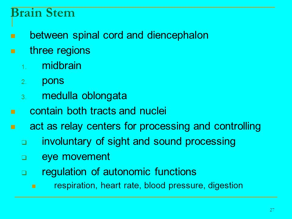 27 Brain Stem between spinal cord and diencephalon three regions 1.