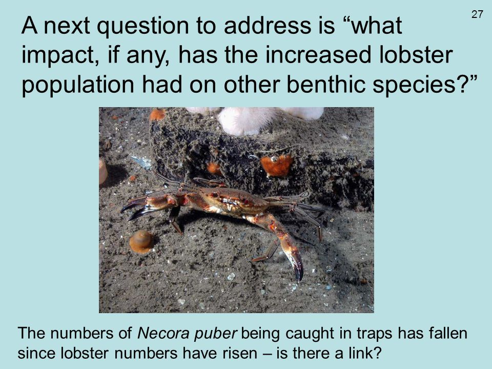 "A next question to address is ""what impact, if any, has the increased lobster population had on other benthic species?"" The numbers of Necora puber be"