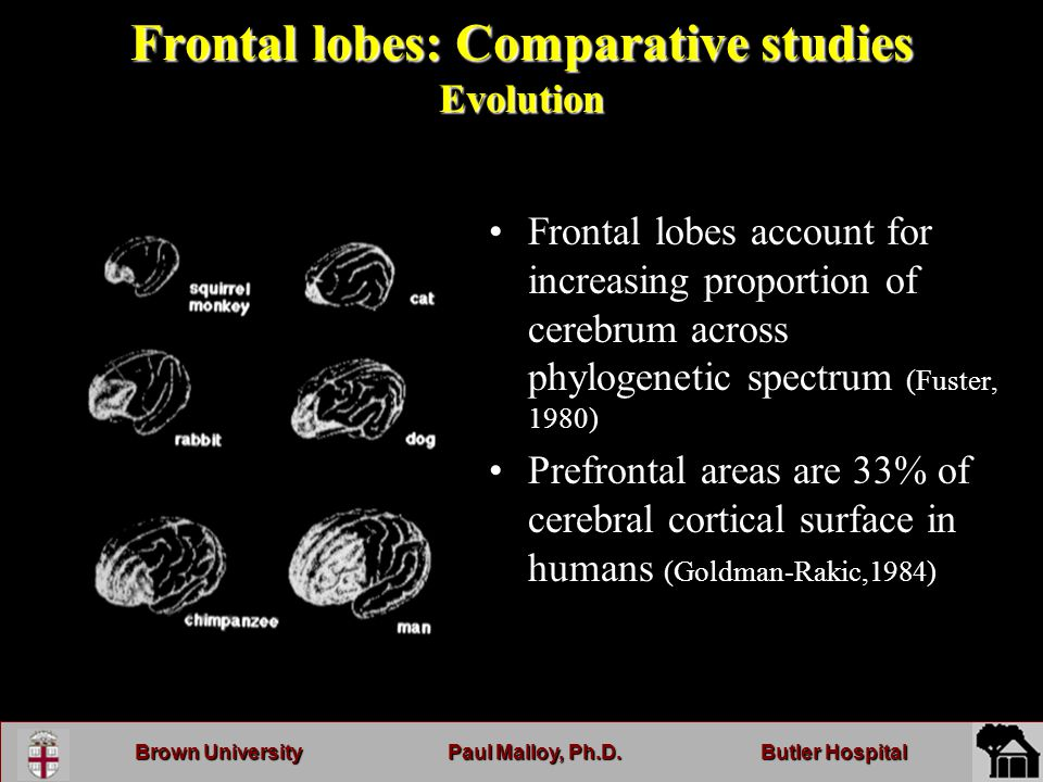 Brown UniversityPaul Malloy, Ph.D.Butler Hospital Frontal lobes: Comparative studies Evolution Frontal lobes account for increasing proportion of cerebrum across phylogenetic spectrum (Fuster, 1980) Prefrontal areas are 33% of cerebral cortical surface in humans (Goldman-Rakic,1984)