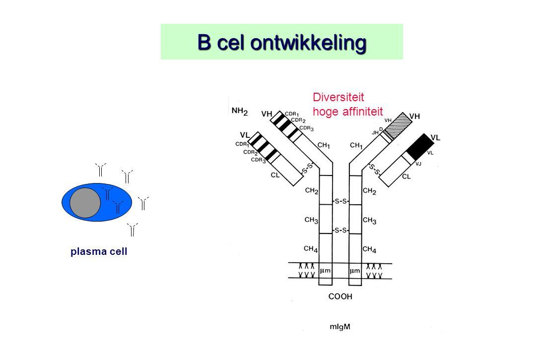 B cel ontwikkeling plasma cell Diversiteit hoge affiniteit
