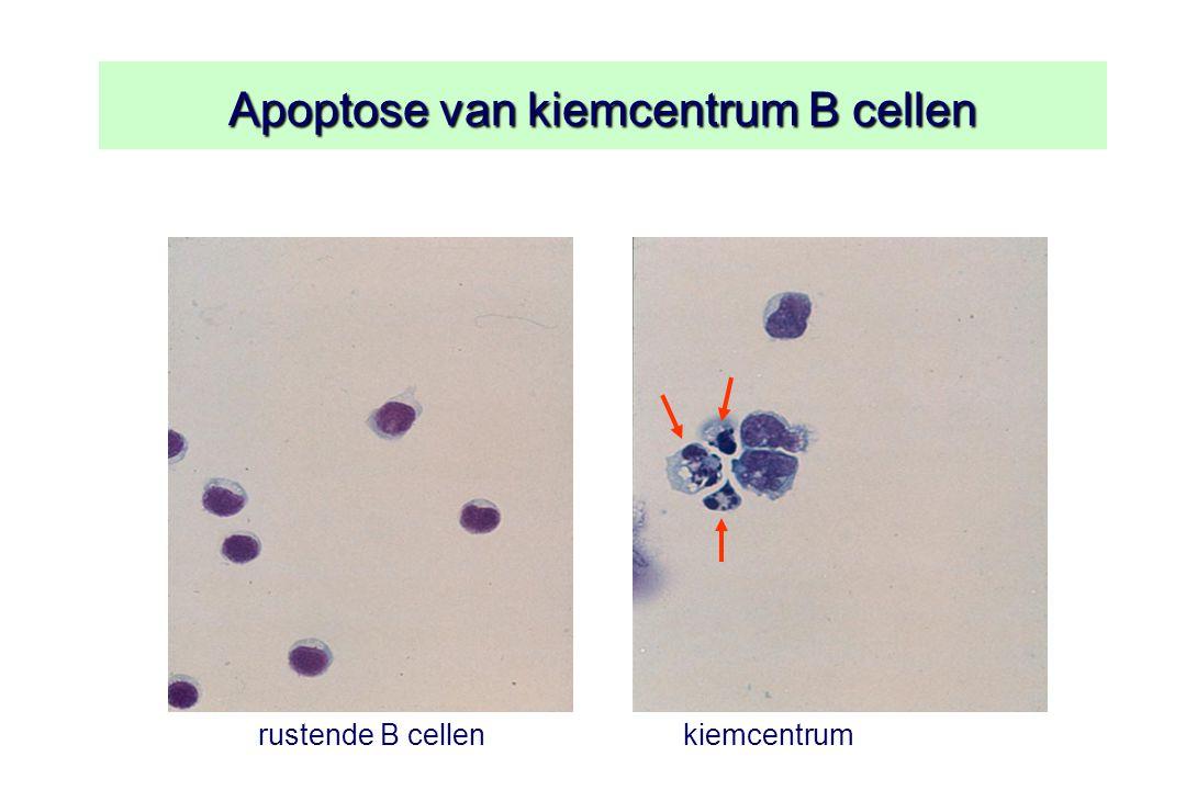 Apoptose van kiemcentrum B cellen kiemcentrum B cellenrustende B cellen