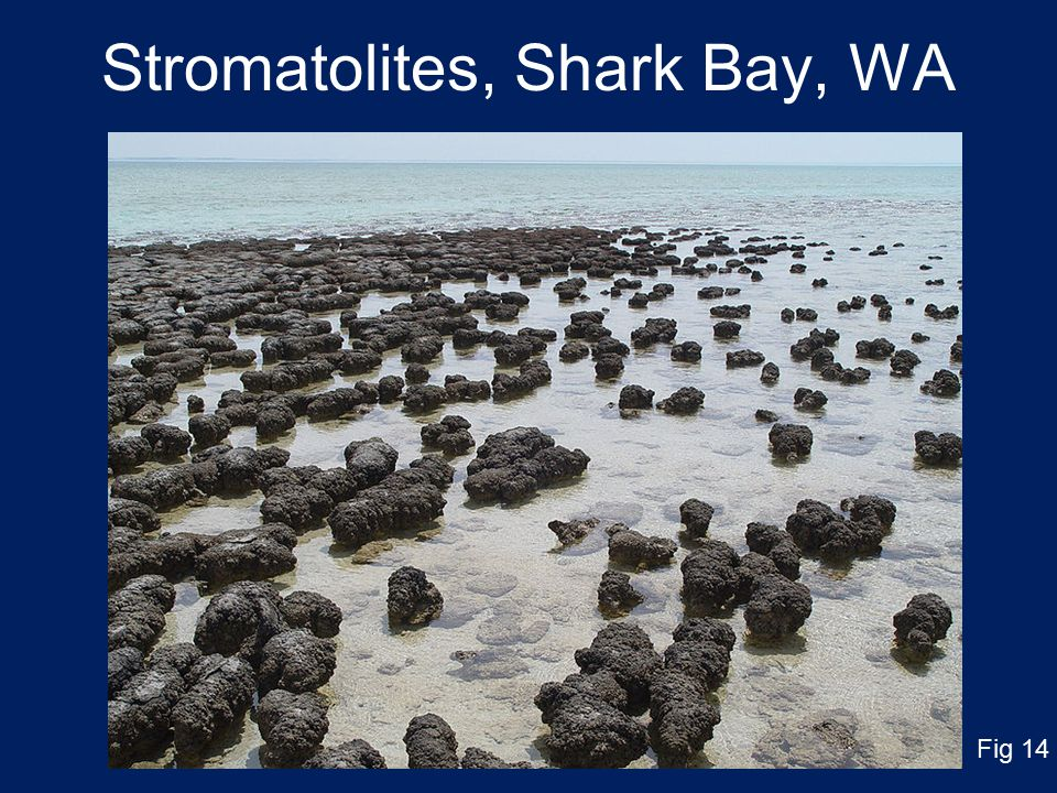 Stromatolites, Shark Bay, WA Fig 14