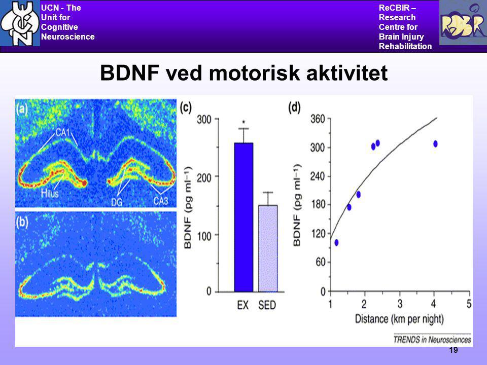 UCN - The Unit for Cognitive Neuroscience ReCBIR – Research Centre for Brain Injury Rehabilitation 19 BDNF ved motorisk aktivitet