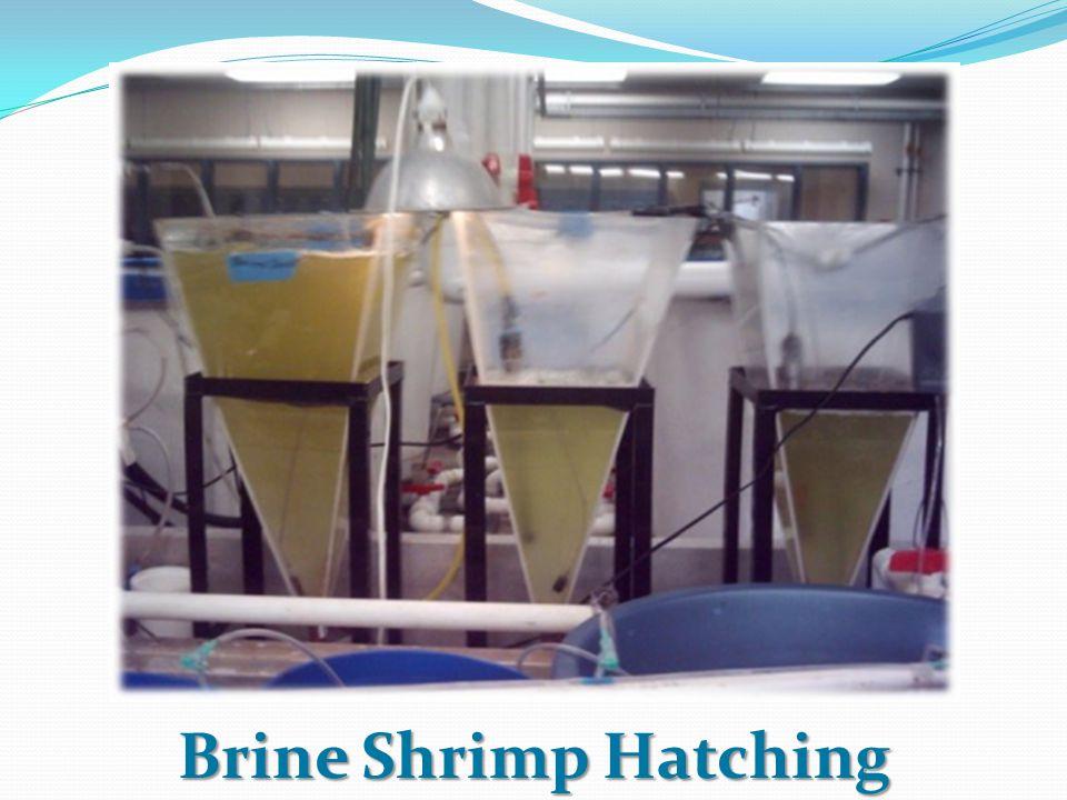 Brine Shrimp Hatching