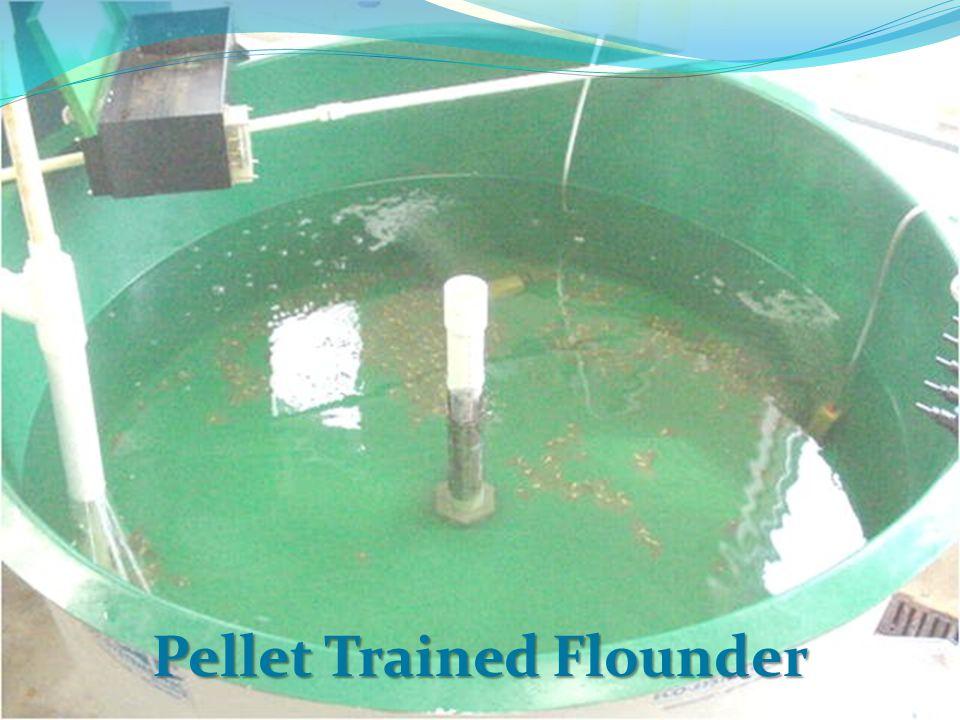 Pellet Trained Flounder