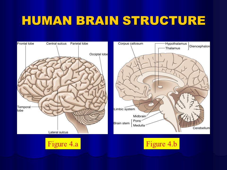 HUMAN BRAIN STRUCTURE Figure 4.aFigure 4.b