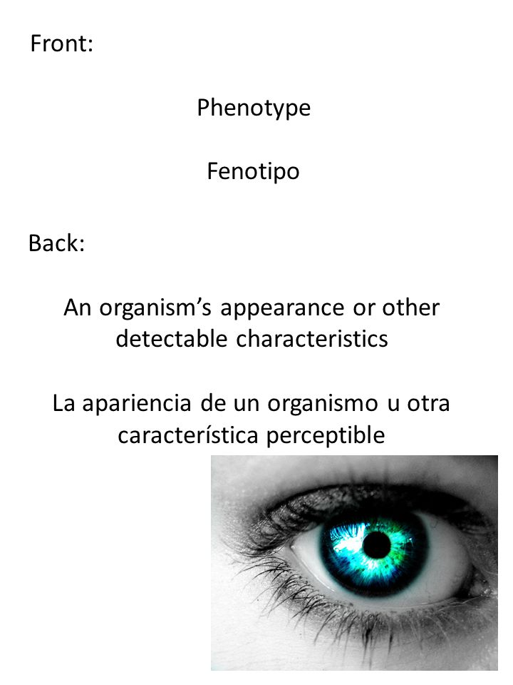 Front: Phenotype Fenotipo Back: An organism's appearance or other detectable characteristics La apariencia de un organismo u otra característica perce