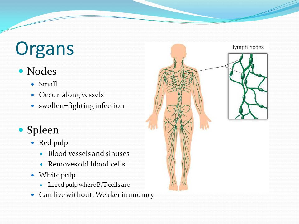 Organs Nodes Small Occur along vessels swollen=fighting infection Spleen Red pulp Blood vessels and sinuses Removes old blood cells White pulp In red