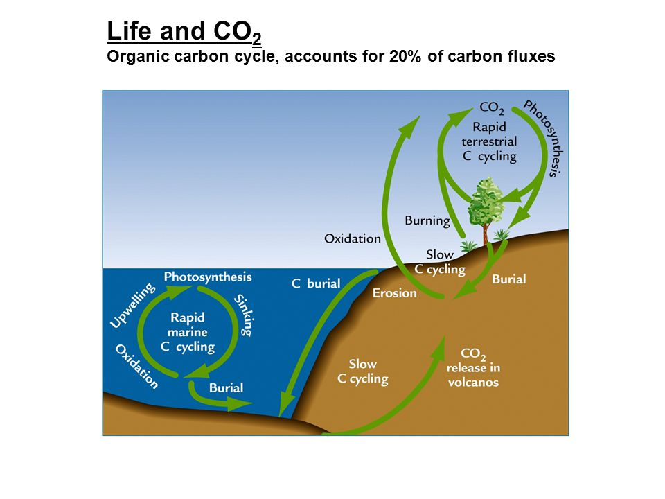 Life and CO 2 Organic carbon cycle, accounts for 20% of carbon fluxes