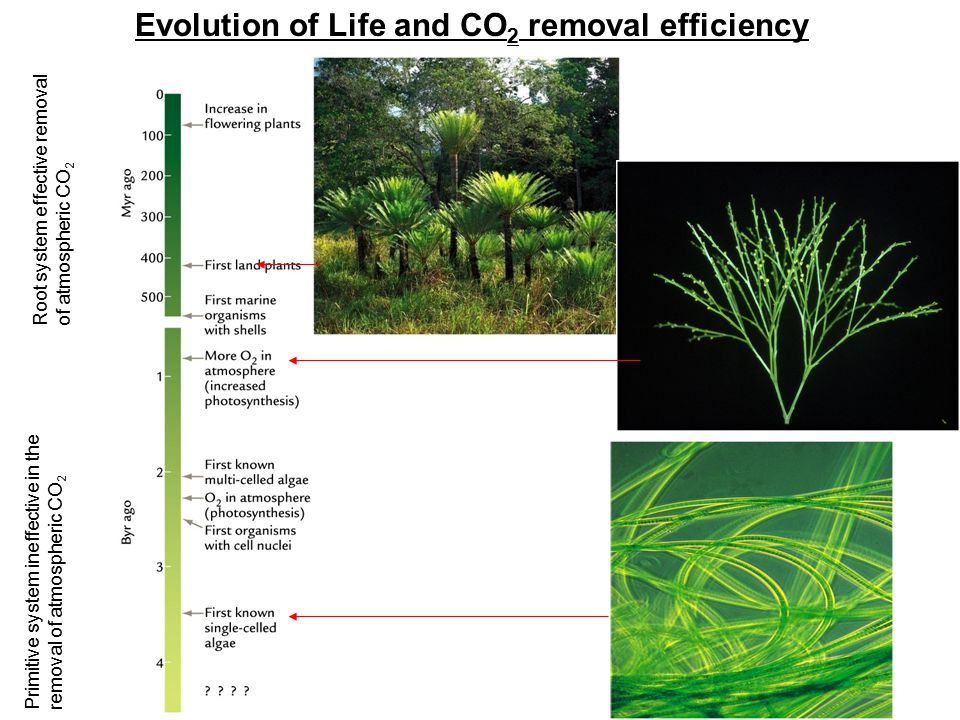 Root system effective removal of atmospheric CO 2 Primitive system ineffective in the removal of atmospheric CO 2 Evolution of Life and CO 2 removal efficiency