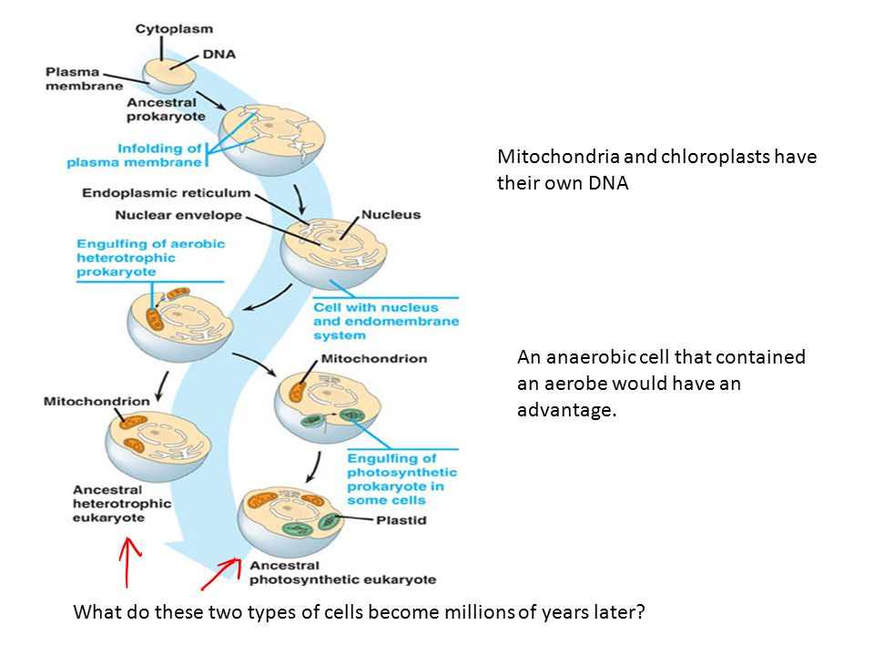 Mitochondria and chloroplasts have their own DNA An anaerobic cell that contained an aerobe would have an advantage. What do these two types of cells