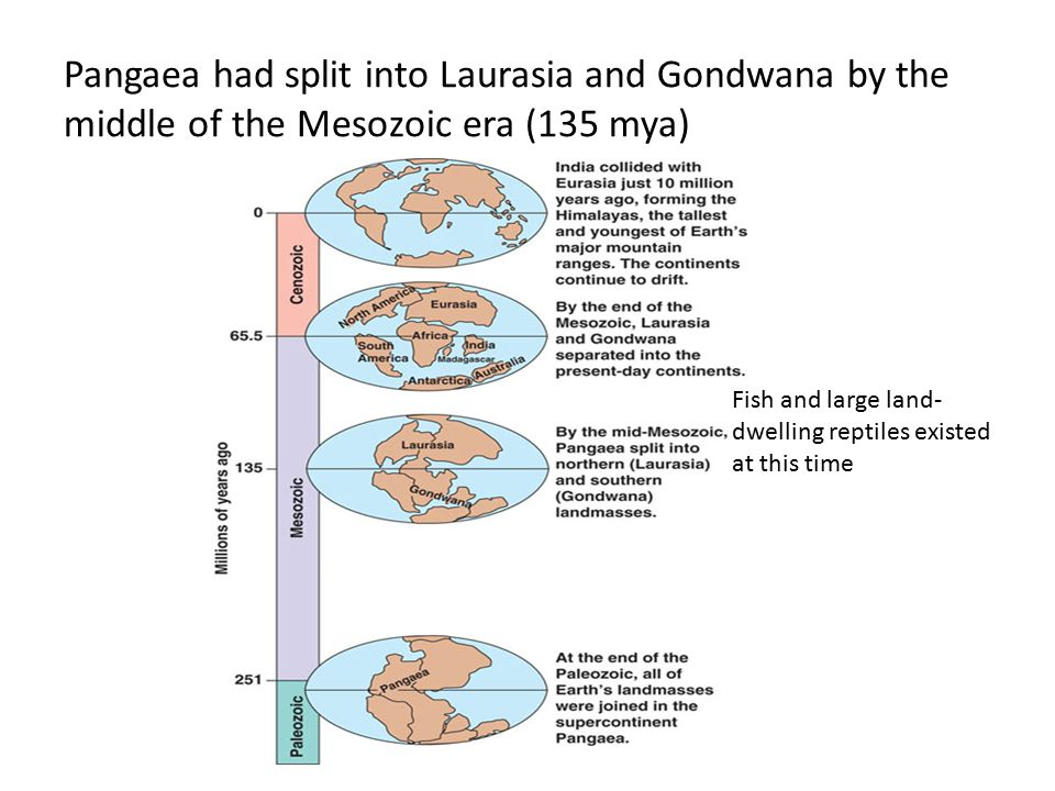Pangaea had split into Laurasia and Gondwana by the middle of the Mesozoic era (135 mya) Fish and large land- dwelling reptiles existed at this time